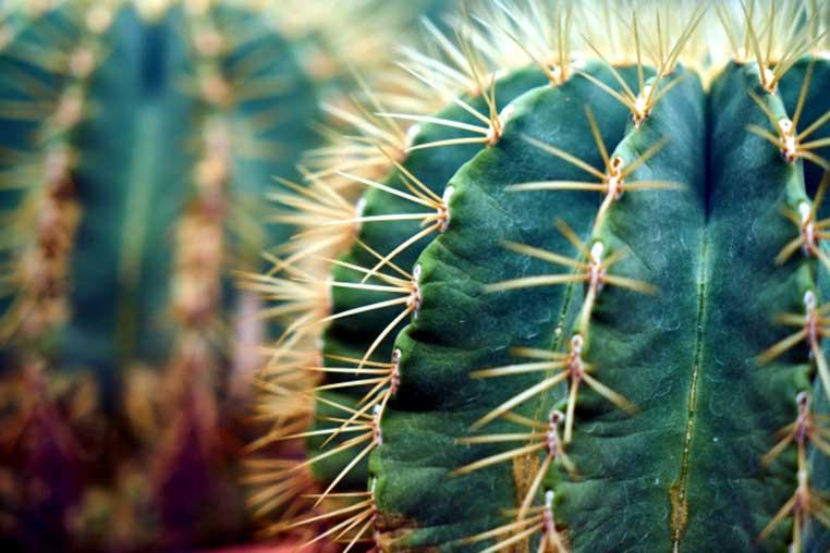 beneficios de comer cactus