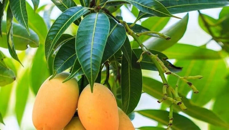 propiedades de hoja de mango